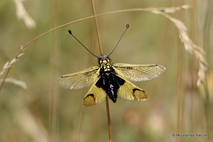 Owlfly sp. Libelloides longicornis