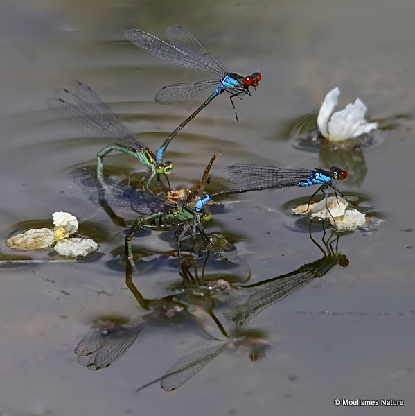 Small Red-eyed Damselflies (Erythromma viridulum)