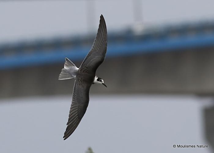 Black Tern (Chlidonias niger) juvenile