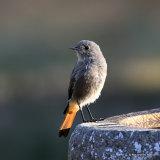 Black Redstart (Phoenicurus ochruros) F-type