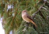 Common Redstart (Phoenicurus phoenicurus) F