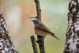 Common Redstart (Phoenicurus phoenicurus) M-1W