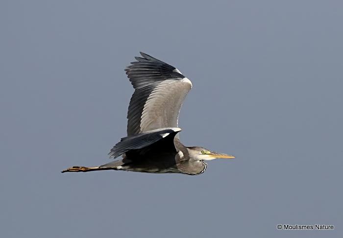 Grey Heron (Ardea cinerea) Imm, Héron cendré
