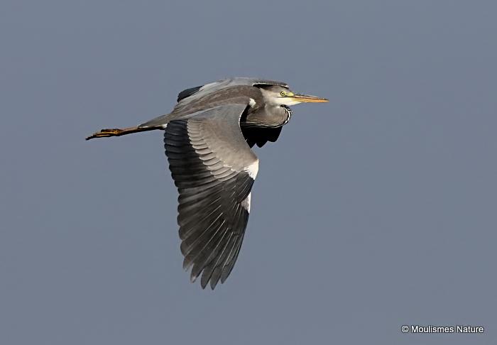 Grey Heron (Ardea cinerea) Imm