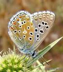 Adonis Blue (Lysandra bellargus) M