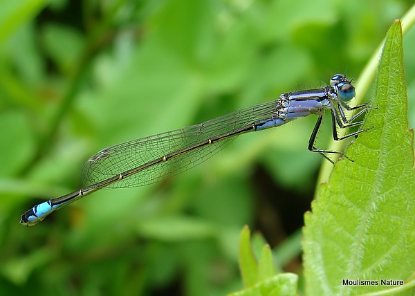 Blue-tailed Damselfly (Ischnura elegans) F-Imm 'violacea'