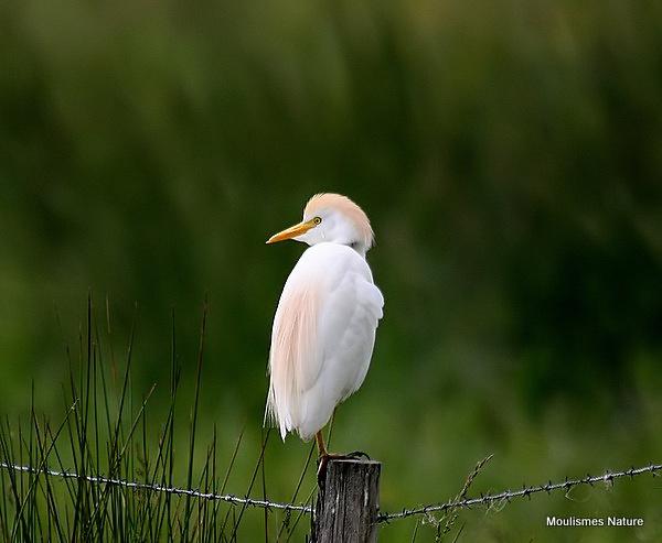 Cattle Egret (Bubulcus ibis) Ad-S