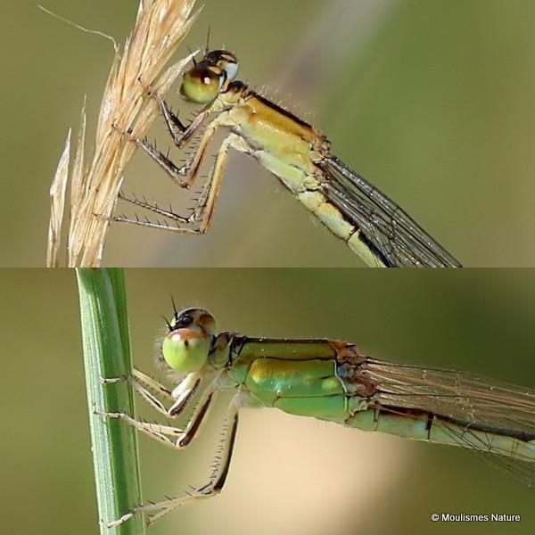 Ischnura elegans F 'rufescens-obsoleta'/I. pumilio F