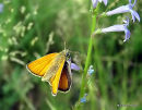 Small Skipper (Thymelicus sylvestris) F