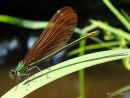 Beautiful Demoiselle (Calopteryx virgo) F
