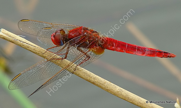 Scarlet Darter (Crocothemis erythraea) M, Libellule ecarlate