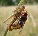 Vespa crabro (Hornet)