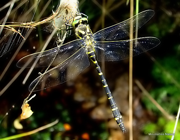 Golden-ringed Dragonfly (Cordulegaster boltonii) M, Cordulagastre annele