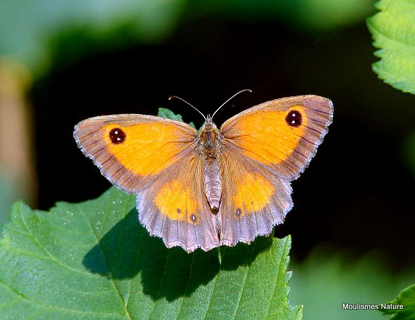 Gatekeeper (Pyronia tithonus) F