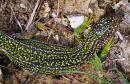 Green Lizard (Lacerta bilineata), F/sub-adult