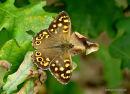 Speckled Wood (Pararge aegeria ssp. tircis), Le Tircis