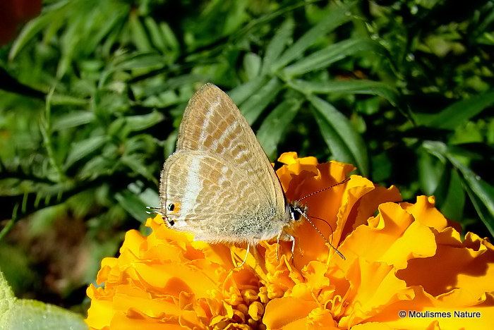 Long-tailed Blue (Lampides boeticus) M