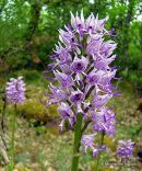 Monkey orchid (Orchis simia), Orchis singe