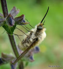 Western Bee-fly (Bombylius canescens)
