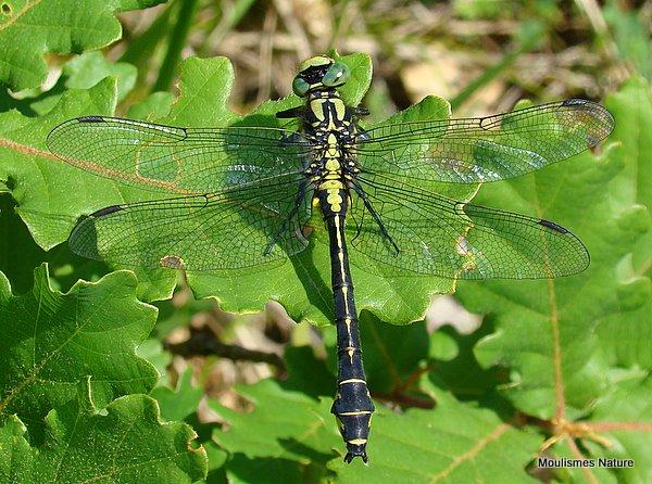 Club-tailed Dragonfly (Gomphus vulgatissimus) M, Gomphus tres commun