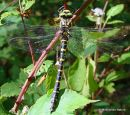 Golden-ringed Dragonfly (Cordulegaster boltoni) F