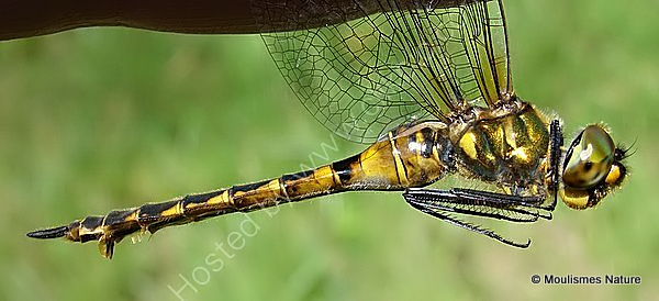 Yellow-spotted Emerald (Somatochlora flavomaculata) F