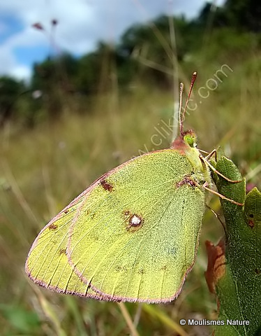 Berger's Clouded Yellow (Colias alfacariensis) M