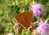 Brown Hairstreak (Thecla betulae) F