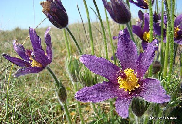 Pulsatilla patens, Pasque-flower
