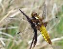 Broad-bodied Chaser (Libellula depressa) F