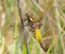 Broad-bodied Chaser (Libellula depressa) M-Imm