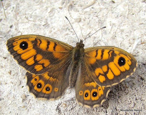 Wall Brown (Lasiommata megera) M