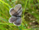 Short-tailed Blue (Everes argiades) F