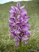 Military Orchid (Orchis militaris), Orchis militaire