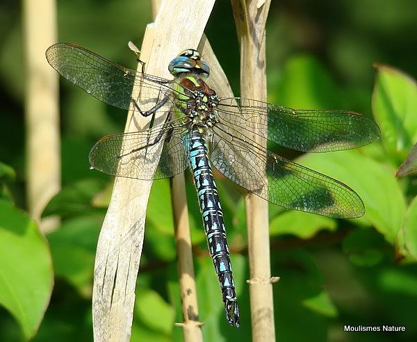 Hairy Dragonfly (Brachytron pratense) M, Aeschne printaniere