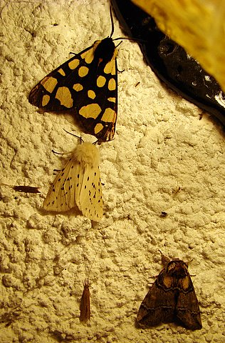 Moths, various - see 'pop-up' for details