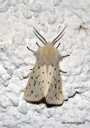 White Ermine (Spilosoma lubricipeda)
