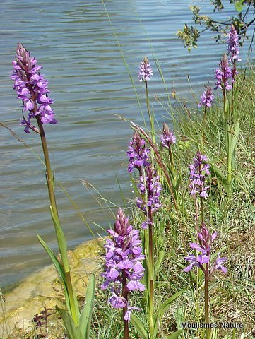 Southern Marsh Orchid (D. praetermissa ssp. praetermissa)