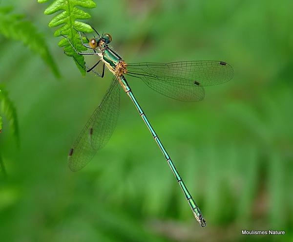 Common Emerald (Lestes sponsa) M-imm