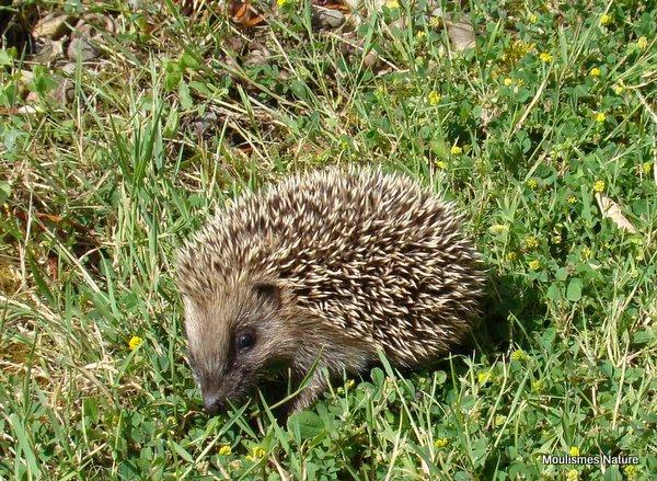 Western Hedgehog (Erinaceus europaeus) young, Herisson