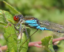 Small Red-eyed Damselfly (Erythromma viridulum) M