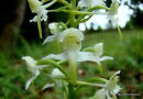 Greater Butterfly Orchid (Platanthera chlorantha), Platanthere verdatre