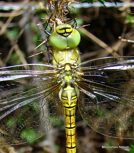 Southern Migrant Hawker (Aeshna affinis) F-ten