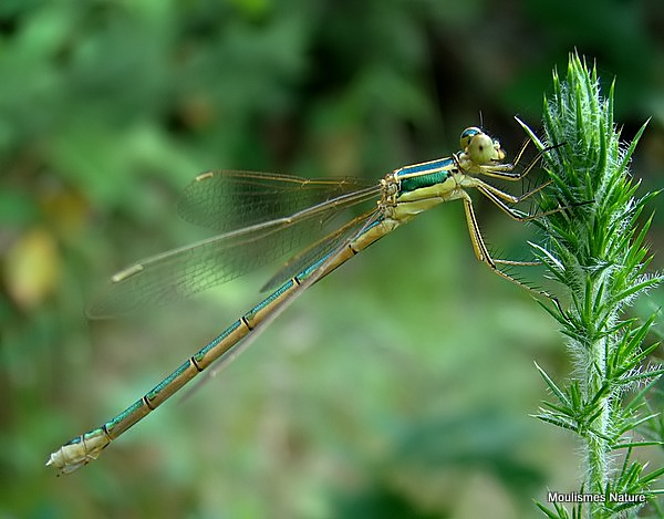 Southern Emerald (Lestes barbarus) F-ten