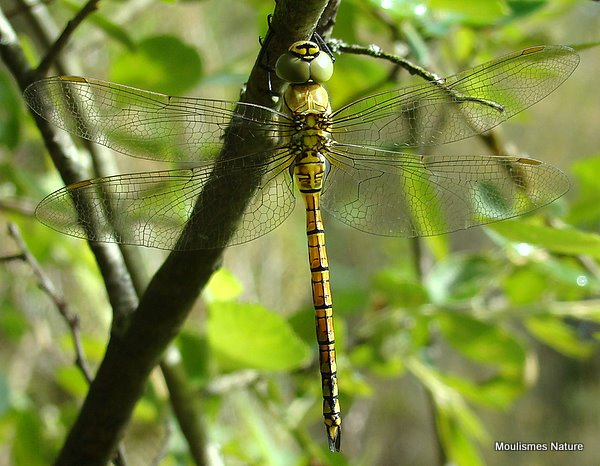 Southern Migrant Hawker (Aeshna affinis) M-ten