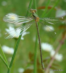 Willow Emerald (Lestes viridis) F-ten