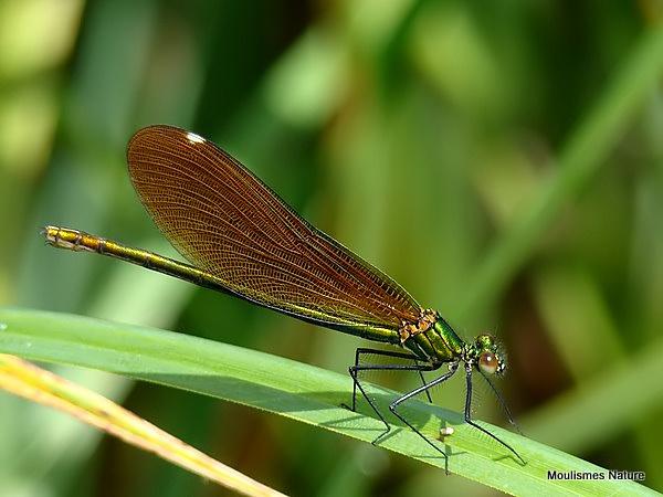 Beautiful Demoiselle (Calopteryx virgo) F