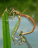 Orange White-legged Damselflies (Platycnemis acutipennis)