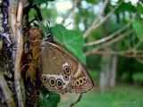 Woodland Brown (Lopinga achine)