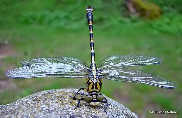 Green-eyed Hooktail (Onychogomphus forcipatus) M-ten